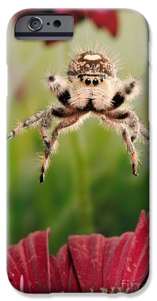 Jumping Spiders iPhone Cases - Regal Jumping Spider Jumping iPhone Case by Scott Linstead