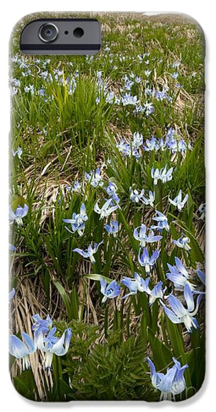 Rosen iPhone Cases - Rosens Squill Scilla Rosenii iPhone Case by Bob Gibbons