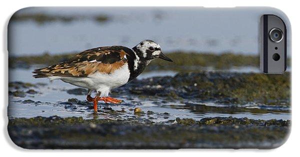 Sea Birds iPhone Cases - Ruddy Turnstone Arenaria interpres iPhone Case by Eyal Bartov