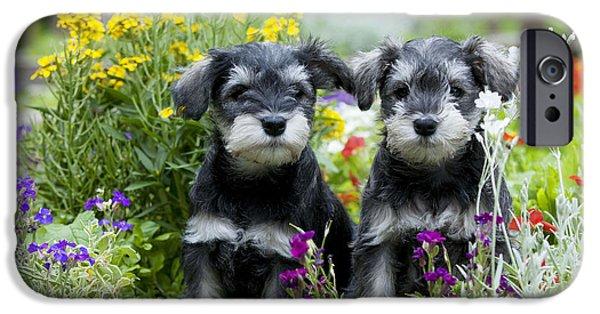 Schnauzer Puppy iPhone Cases - Schnauzer Puppy Dogs iPhone Case by John Daniels