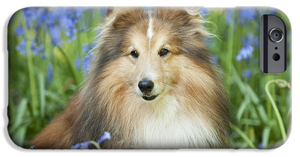 Dog Close-up iPhone Cases - Shetland Sheepdog iPhone Case by John Daniels