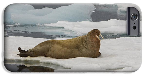 Norway iPhone Cases - Walrus Resting On Ice Floe iPhone Case by John Shaw