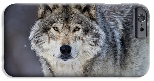 Timber Wolf Pictures iPhone Cases - Timber Wolf iPhone Case by Michael Cummings