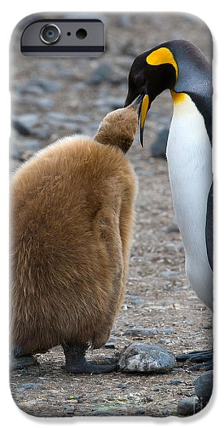 Feeds Chicks iPhone Cases - King Penguins iPhone Case by John Shaw