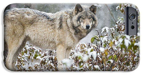 Loup Photos iPhone Cases - Timber Wolf iPhone Case by Michael Cummings