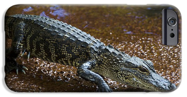 Reptiles iPhone Cases - American Alligator iPhone Case by Mark Newman