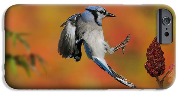 Us Wildllife iPhone Cases - Blue Jay iPhone Case by Scott Linstead