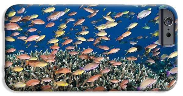 Fauna iPhone Cases - Fairy Basslets Over A Reef iPhone Case by Matthew Oldfield