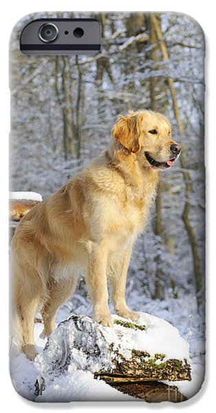 Dog In Snow iPhone Cases - Golden Retriever In Snow iPhone Case by John Daniels