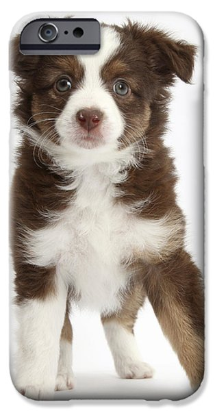 Cute Puppy iPhone Cases - Miniature American Shepherd Puppies iPhone Case by Mark Taylor
