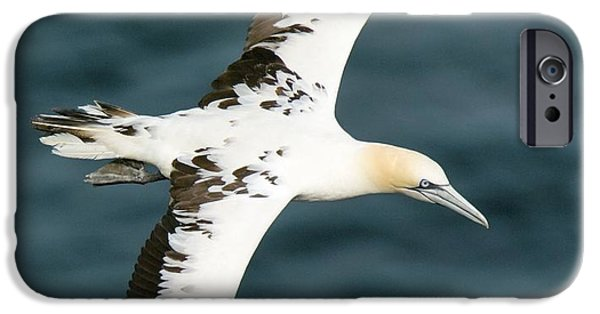 North Sea iPhone Cases - Northern Gannet In Flight iPhone Case by Duncan Shaw