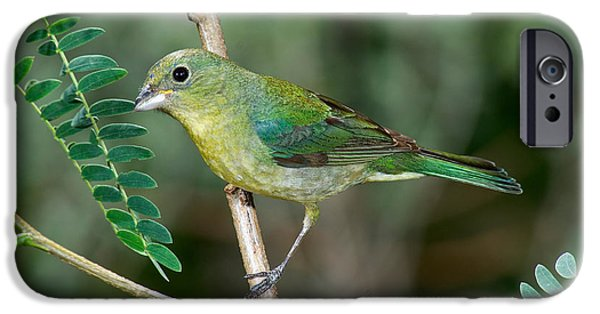 Bunting iPhone Cases - Painted Bunting iPhone Case by Anthony Mercieca