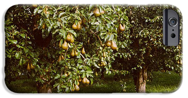 Pears iPhone Cases - Pear Trees In An Orchard, Hood River iPhone Case by Panoramic Images