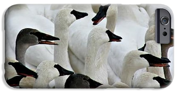 Swans... iPhone Cases - Trumpeter Swans iPhone Case by Amanda Stadther