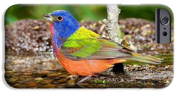 Bathing iPhone Cases - Painted Bunting iPhone Case by Anthony Mercieca