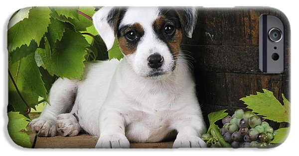 Dog Close-up iPhone Cases - Parson Russell Terrier Puppy iPhone Case by John Daniels