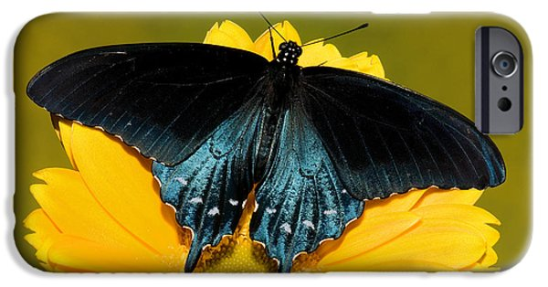 Blue Swallowtail iPhone Cases - Pipevine Swallowtail Butterfly iPhone Case by Millard H. Sharp