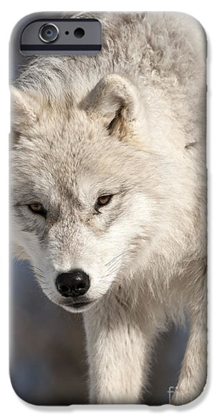 Loup Photos iPhone Cases - Arctic Wolf Pup iPhone Case by Wolves Only