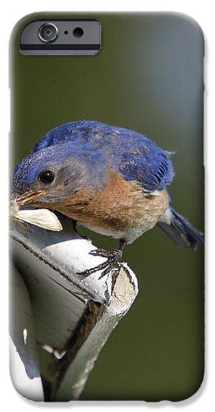 Eastern Bluebird iPhone Case by Linda Freshwaters Arndt