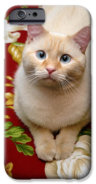 Flame Point Siamese iPhone Cases - Flame Point Siamese Cat iPhone Case by Amy Cicconi