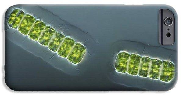 Desmid iPhone Cases - Green Algae, Light Micrograph iPhone Case by Frank Fox