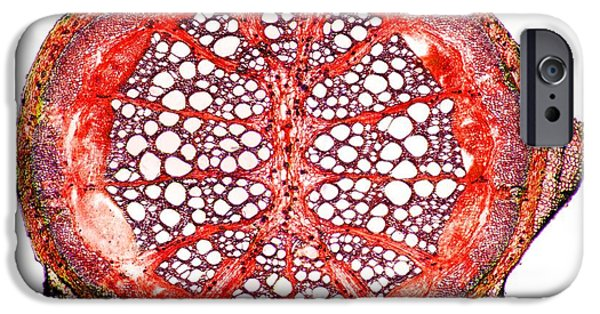 Cut-outs iPhone Cases - Liana Stem, Light Micrograph iPhone Case by Dr. Keith Wheeler