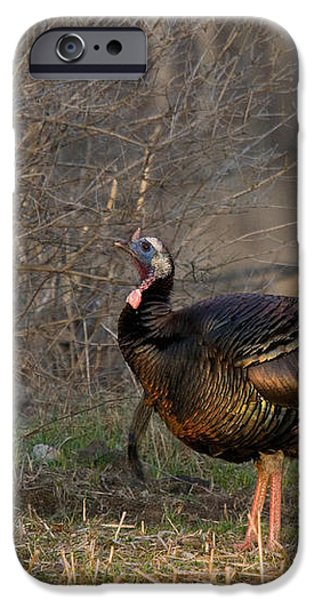 Male Eastern Wild Turkey iPhone Case by Linda Freshwaters Arndt