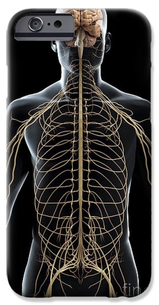 Sacral Plexus iPhone Cases - The Nerves Of The Upper Body iPhone Case by Science Picture Co