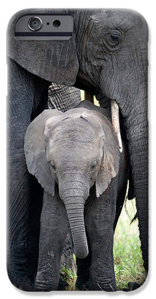 Loxodonta iPhone Cases - African Elephant Loxodonta Africana iPhone Case by Panoramic Images