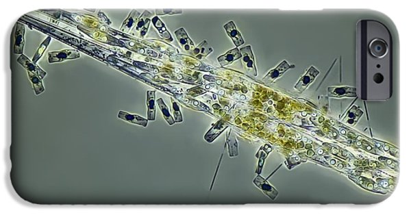 Alga iPhone Cases - Diatoms, Light Micrograph iPhone Case by Frank Fox