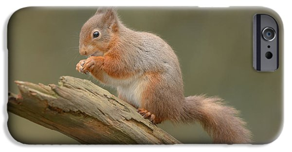 Bushy Tail iPhone Cases - Red Squirrel iPhone Case by Andy Astbury