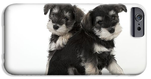 Cute Schnauzer iPhone Cases - Schnauzer Puppy Dogs iPhone Case by John Daniels