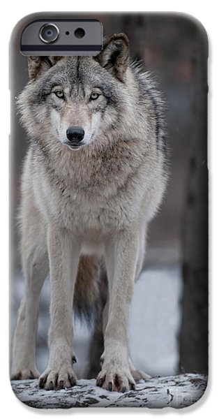 Wolf Picture Art iPhone Cases - Timber Wolf  iPhone Case by Wolves Only