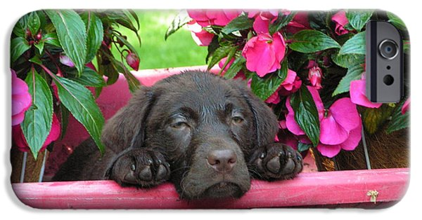 Chocolate Lab iPhone Cases - #740  D13 Chocolate Lab Radio Flyer iPhone Case by Robin Lee Mccarthy Photography