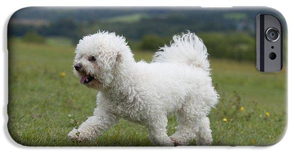 Dog Trots Photographs iPhone Cases - Bichon Frise iPhone Case by John Daniels