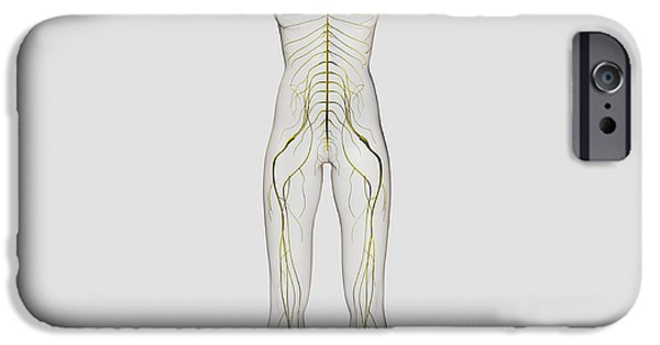 Sacral Plexus iPhone Cases - Medical Illustration Of The Human iPhone Case by Stocktrek Images