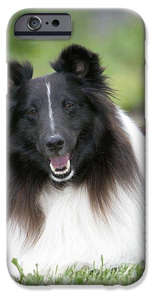 Dog Close-up iPhone Cases - Shetland Sheepdog iPhone Case by Rolf Kopfle