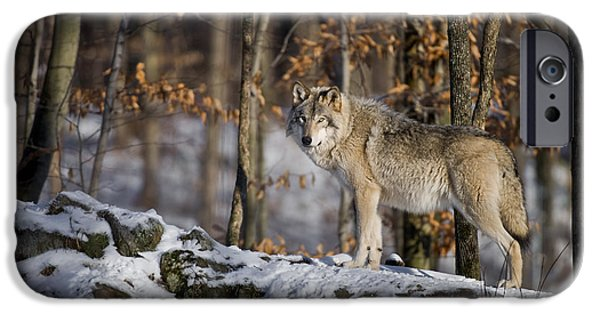 Wolf Image iPhone Cases - Timber Wolf Pictures iPhone Case by Wolves Only