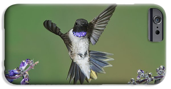Chin Up Photographs iPhone Cases - Black-chinned Hummingbird iPhone Case by Anthony Mercieca