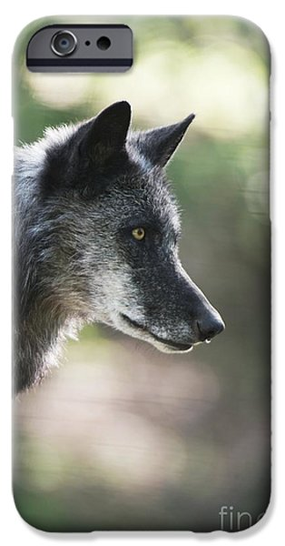Nature Study iPhone Cases - Gray Wolf iPhone Case by Louise Murray