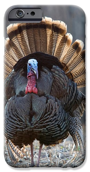 Meleagris Gallopavo iPhone Cases - Jake Eastern Wild Turkey iPhone Case by Linda Freshwaters Arndt