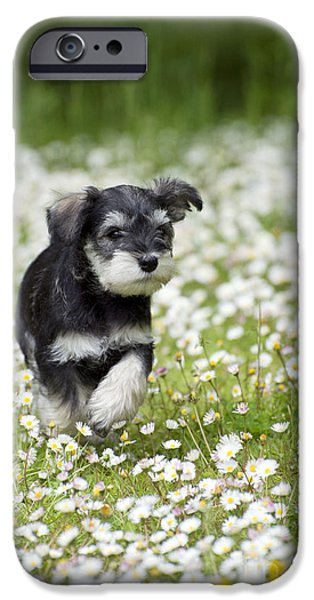 Schnauzer Puppy iPhone Cases - Schnauzer Puppy Dog iPhone Case by John Daniels