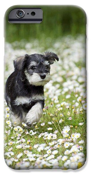 Cute Schnauzer iPhone Cases - Schnauzer Puppy Dog iPhone Case by John Daniels