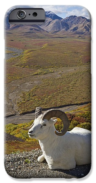 Ledge iPhone Cases - A Dall Ram Lies On Shoulder Of The Park iPhone Case by Doug Lindstrand