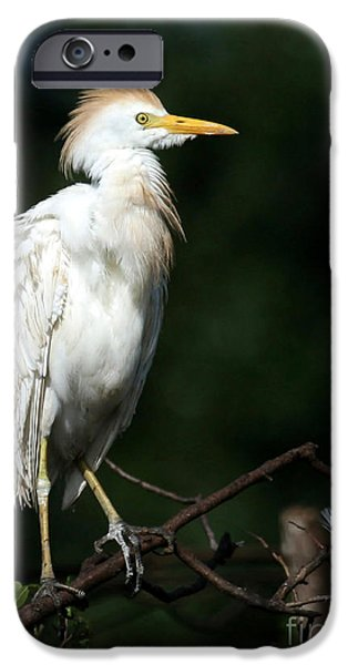 Cattle Egret iPhone Cases - A Fluffed Cattle Egret iPhone Case by Sabrina L Ryan