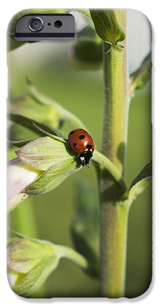 Foxglove Flowers Photographs iPhone Cases - A Ladybug Beetle Rests On Foxglove_ iPhone Case by Robert L. Potts