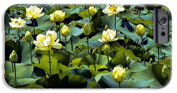 Concord Massachusetts iPhone Cases - A Mass of American Lotus Blossoms iPhone Case by Constantine Gregory