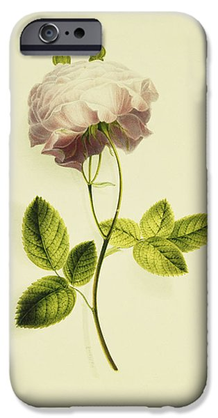 Botanic Illustration iPhone Cases - A Pink Rose iPhone Case by James Holland
