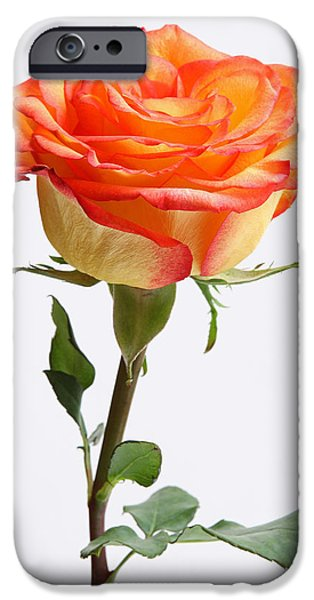 A rose is a rose is a rose iPhone Case by Juergen Roth