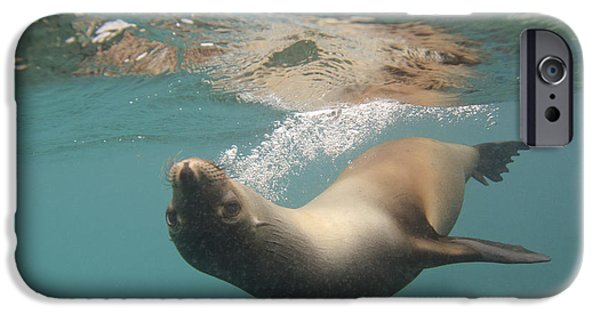 Recently Sold -  - Animals Photographs iPhone Cases - A Sea Lion Swimming Under The Waters iPhone Case by Keith Levit